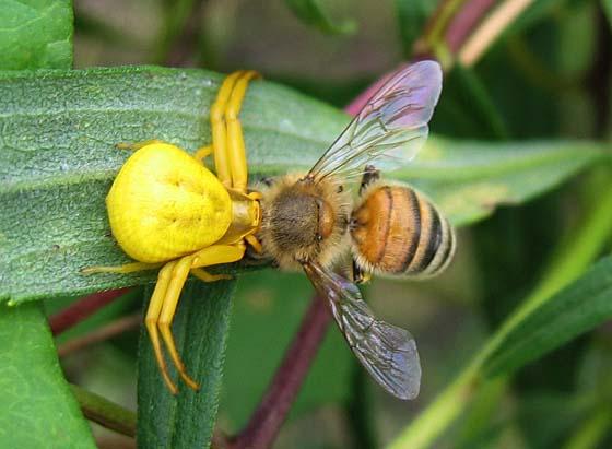 Goldenrod Spider with Honeybee - Misumenoides formosipes