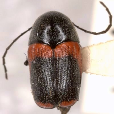 Cryptocephalus mucoreus J. L. LeConte  - Cryptocephalus mucoreus