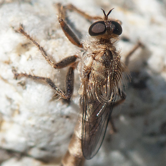 ID for a small robber fly? - Stenopogon lomae