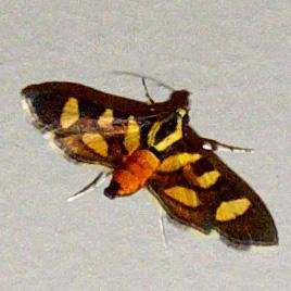 Red-waisted Florella Moth - Hodges #5284 - Syngamia florella