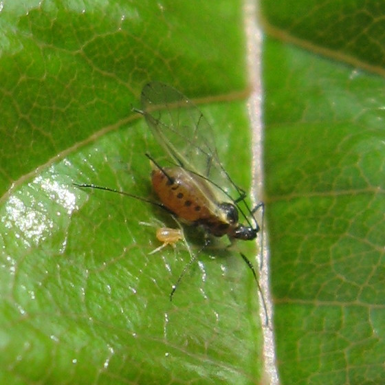 Aphididae 2009-01a - Macrosiphum