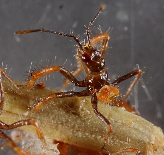 Apiomerus hatchling - Apiomerus montanus