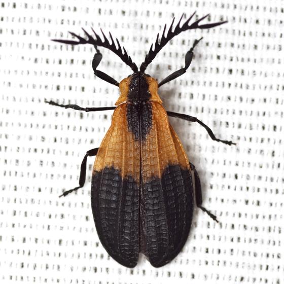 Net-winged Beetle - Caenia dimidiata - male