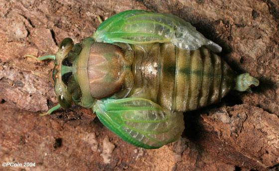 Swamp Cicada-Inflating Wings-2 - Neotibicen tibicen