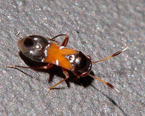 Wasp? - Pilophorus juniperi