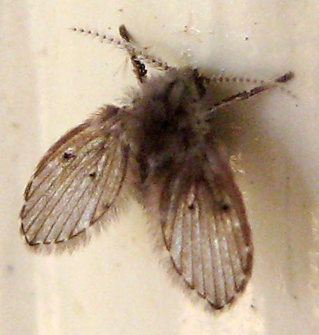 Moth Fly (Psychodidae) - Clogmia albipunctata
