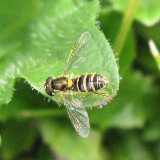 Syrphidae 02 - Sphaerophoria sulphuripes