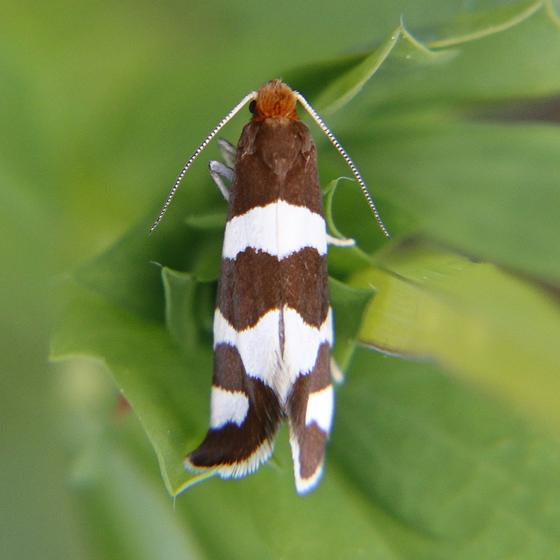 Lampronia oregonella