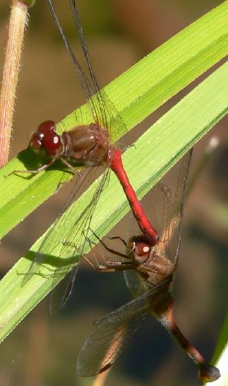 Ovipositing behavior - Sympetrum vicinum - male - female