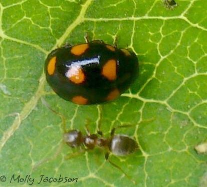 lady beetle - Brachiacantha