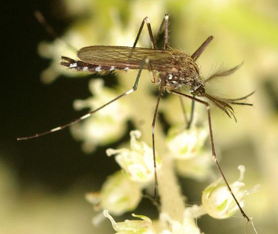 asian rock pool mosquito - Ochlerotatus japonicus - male