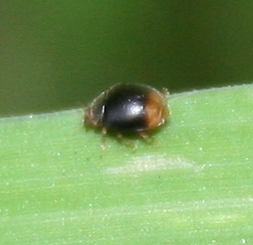 Beetle ID Request - Scymnus