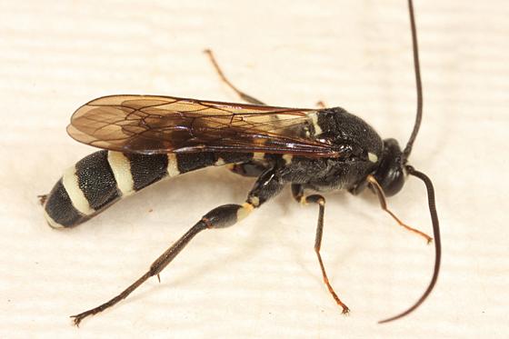 Ichneumon - Metopius