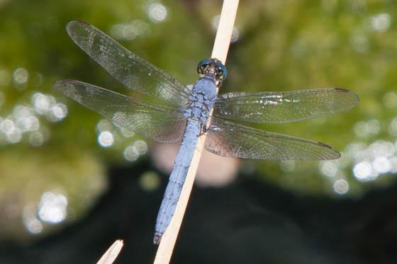 Blue Dragonfly - Erythemis collocata - male