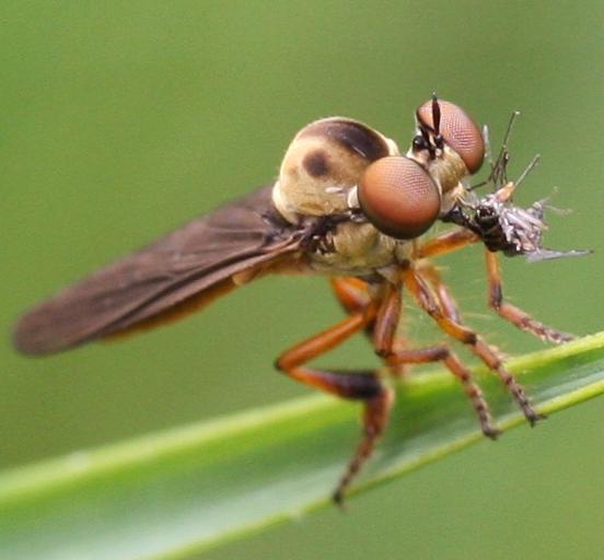Robber Fly - Holcocephala abdominalis