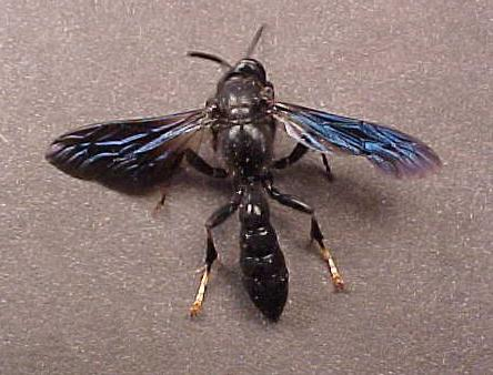 Black Wasp w/Blue Wings - Trypoxylon politum