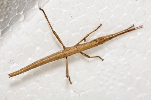 Southern Two-striped Walkingstick - Anisomorpha buprestoides - female