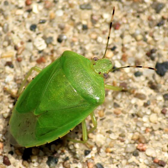 ID'able Pentatomidae? - Chinavia hilaris