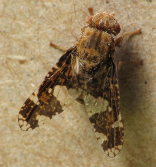 Goldenrod Round Gall Fly (goldenrod fauna) - Eurosta solidaginis