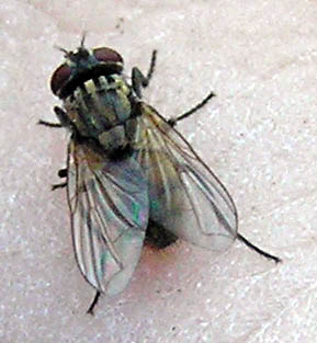 Housefly? - Musca