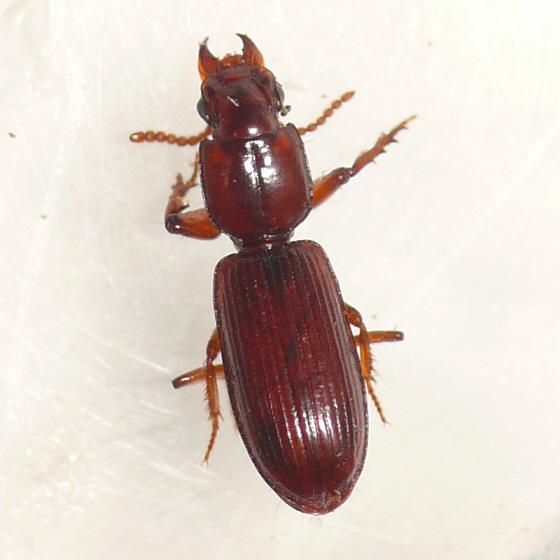 Ground beetle 2 - Clivina pallida