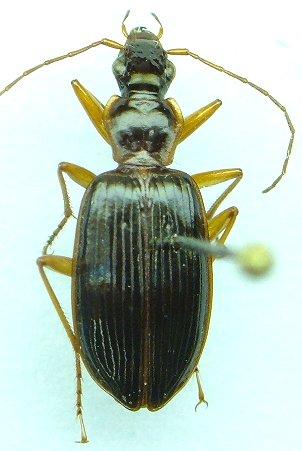 Platynus - Platynus tenuicollis
