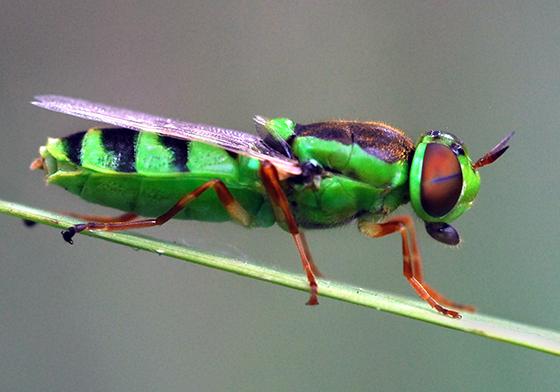 fly - Odontomyia cincta - female