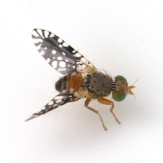 fly - Euaresta bella - male