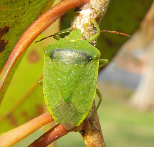 stink bug - Nezara viridula
