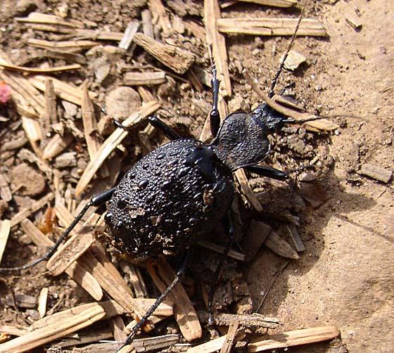 Tuberculate Rare Snail-eating Beetle - Cychrus tuberculatus