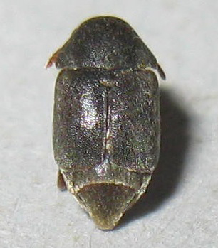 Small Beetle - Amartus tinctus