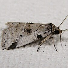 Hyperstrotia nana - Hyperstrotia aetheria