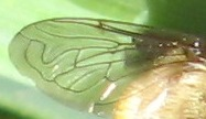 Wing detail - Merodon equestris