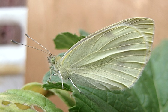 Day 45: Adult - Pieris rapae - female