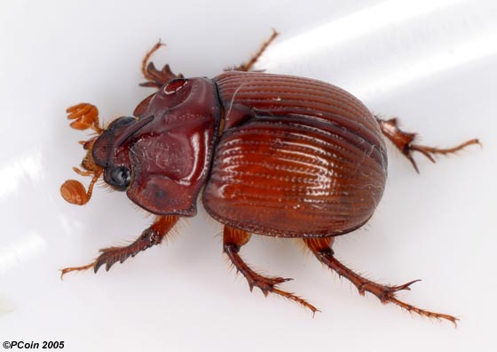Earth-boring Dung Beetle - Odonteus liebecki - male
