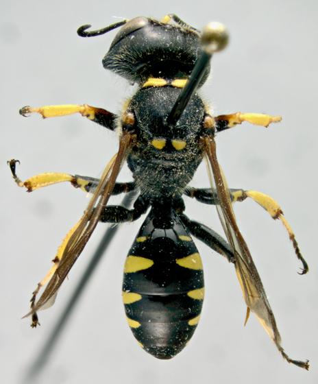Crabronidae, dorsal - Ectemnius maculosus - female