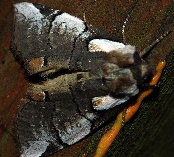 A sort of wing illusion.... - Euthyatira lorata