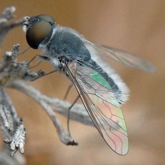 ID for bee fly? - Aphoebantus mus - male