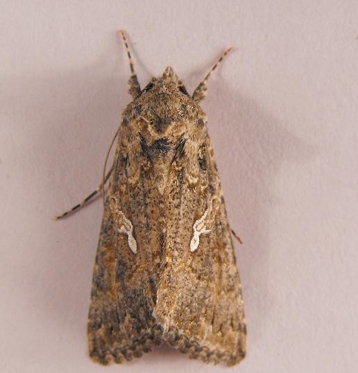 A. californica? - Trichoplusia ni