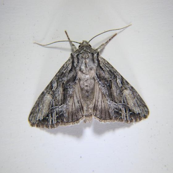 Apamea spaldingi - Hodges #9356 - Apamea spaldingi
