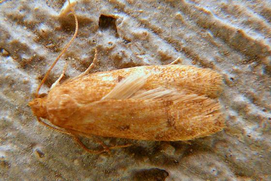 Moth - Gerdana caritella