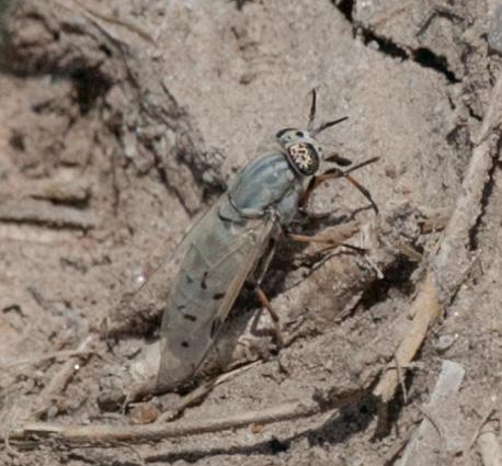 Diptera - Silvius - female
