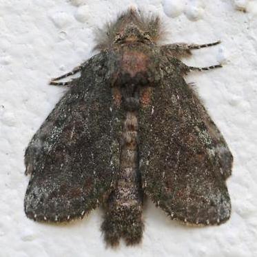 Moth - Heterocampa biundata
