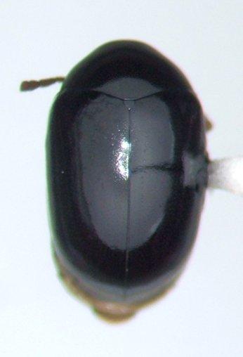 Calymmaderus - Calymmaderus punctulatus