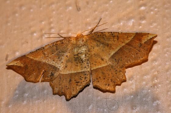 Mottled Euchlaena - Euchlaena tigrinaria - female