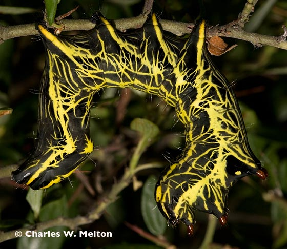 Lepidoptera larva - Crinodes biedermani