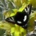 Heliothis belladonna
