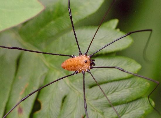 harvestman - Leiobunum nigropalpi