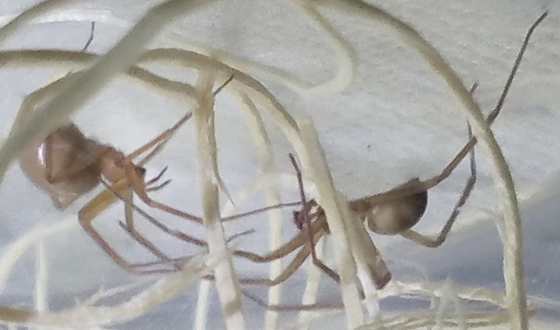 Loxosceles arizonica - male - female