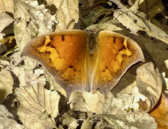 Gaotweed Leafwing - Anaea andria - female